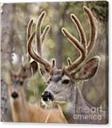 Two Mule Deer Bucks With Velvet Antlers  Canvas Print