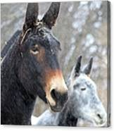 Two Mules For Sister Sara Canvas Print
