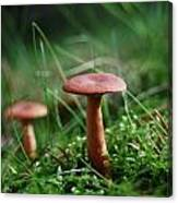 Two Mushrooms Canvas Print