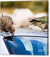 Two Nz Alpine Parrot Kea Trying To Vandalize A Car Canvas Print