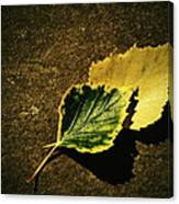 Two Of Birch Leaves Canvas Print