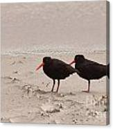 Two Oystercatchers Haematopus Unicolor On Beach Canvas Print