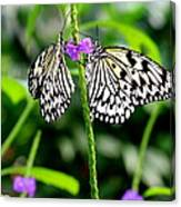 Two Paper Kite Or Rice Paper Or Large Tree Nymph Butterfly Also Known As Idea Leuconoe Canvas Print
