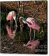 Two Pink Spoonbills Canvas Print