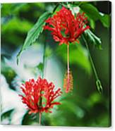 Two Red Hibiscus Canvas Print