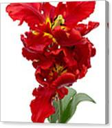 Two Red Parrot Tulips Canvas Print