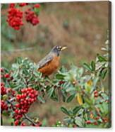 Two Robins Eating Berries Canvas Print