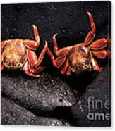 Two Sally Lightfoot Crabs Canvas Print