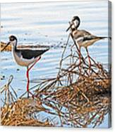 Two Stilts At The Pond Canvas Print