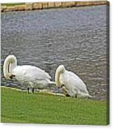Two Swans Grooming Canvas Print