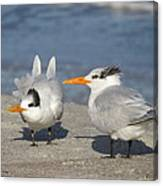 Two Terns Watching Canvas Print
