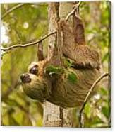 Two-toed Sloth Canvas Print