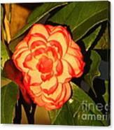 Two-tone Camellia Canvas Print