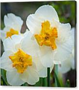 Two-toned Daffodils Canvas Print
