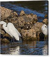 Two White Herons And A Coot Canvas Print