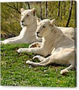 Two White Lions Canvas Print