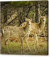 Two White Tailed Deer Canvas Print
