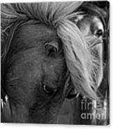 Two Wild Stallions Close Canvas Print