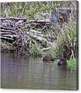 Two Working Beavers Canvas Print