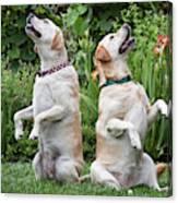 Two Yellow Labrador Retrievers Sitting Canvas Print