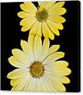 Two Yellow Canvas Print