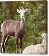 Two Young Stone Sheep Ovis Dalli Stonei Watching Canvas Print