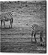 Two Zebras Eating. Tanzania Canvas Print