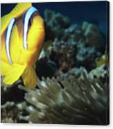 Twoband Anemonefish Canvas Print