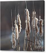 Typha Cattail Spikes Seeds Canvas Print
