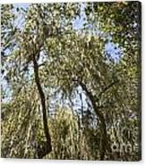Under The Canopy - The Magical And Mysterious Trees Of The Los Osos Oak Reserve Canvas Print