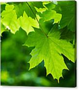 Under The Maple Leaves - Featured 2 Canvas Print