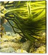 Underwater Shot Of Green Seaweed Attached To Rock Canvas Print