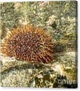 Underwater Shot Of Sea Urchin On Submerged Rocks Canvas Print