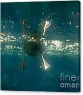 Underwater View Of Duck's Webbed Feet Canvas Print