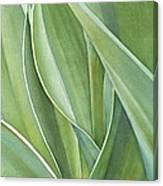 Unfolding Tulip Leaves Canvas Print
