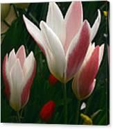 Unfolding Tulips Canvas Print
