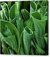 Unfurling Of The Hosta Canvas Print