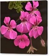 Pink Geranium Flower Canvas Print