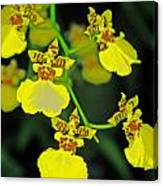 unnamed hybrid Orchid  Canvas Print