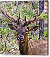Up Close And Personal With An Elk Canvas Print