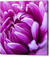 Up-close Flower Power Pink Mum  Canvas Print