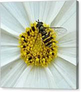 Up Close With The Bee And The Cosmo Canvas Print