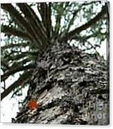 Up Pine Canvas Print