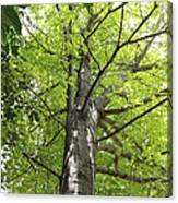 Up The Oak Tree Canvas Print