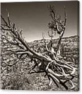Uprooted - Bryce Canyon Sepia Canvas Print