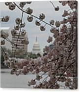 Us Capitol - Cherry Blossoms - Washington Dc - 01132 Canvas Print