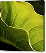 Usa, California, Big Sur, Calla Lily Canvas Print