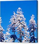 Usa, Oregon, Pine Trees, Winter Canvas Print