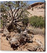 Utah Tree Canvas Print