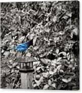 Vagabon Blue Bird Canvas Print